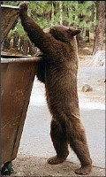 brown bear lifting lid to get into dumpster